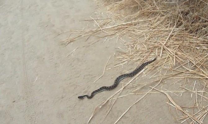 Rattlesnake in Tecolote Canyon