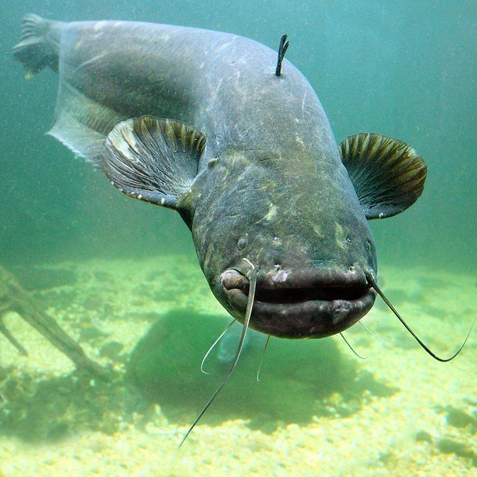 Catfish (silurus glanis)