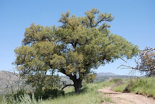 Engelmann oak on the Eagle Peak trail