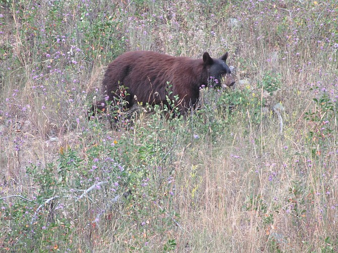 Grizzly in Glacier National Park