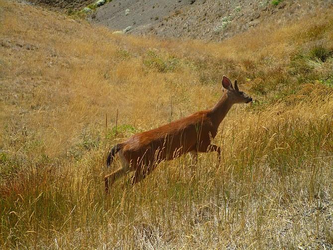 Muledeer in Olympic National Park