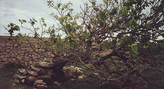 Old fig tree