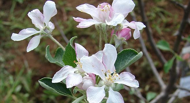 Dorsett Golden apple blossom