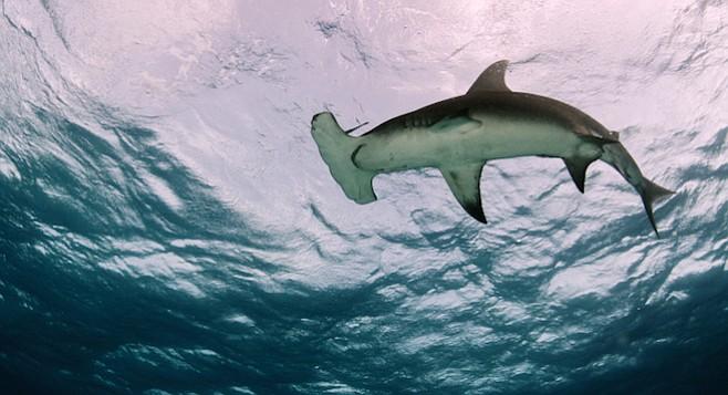 Great hammerhead shark - Image by Shane Gross