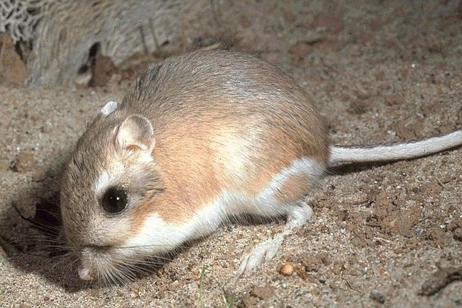 What's that smell? Oh, yeah, a kangaroo rat.