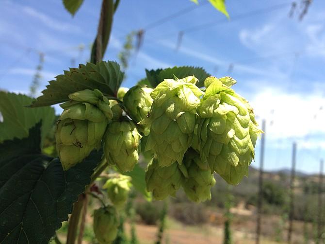 Hops growing at Nopalito Farm this summer.