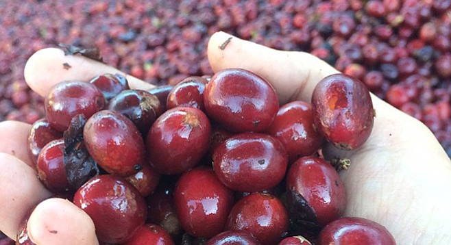 Fresh, ripe coffee cherries picked at El Salvador's Finca Loma La Gloria