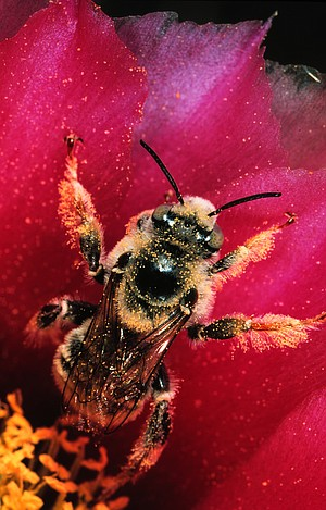 Chalicodoma is a bull of a bee and a home builder who contracts out a portion of the early work.