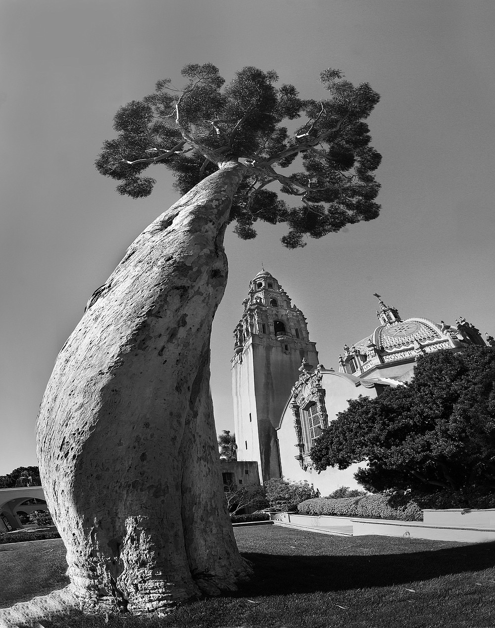 Balboa Park eucalyptus. During most of the 20th Century, the eucalyptuses seemed to be pest-free. Then in the 1980s, an Australian beetle began chewing its way through eucalyptus species in Southern California.