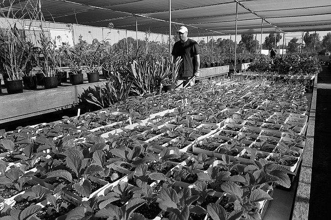 Kate Sessions Balboa Park Nursery. You could live in San Diego all your life and never notice the inconspicuous sign that marks the nursery's entrance just down the hill from the Frisbee golf course on Pershing Drive. - Image by Alan Decker