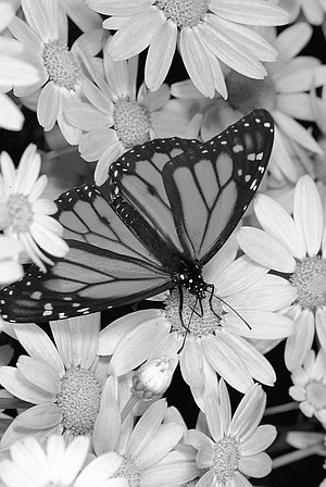 """Monarch. Parks told me about """"hilltopping,"""" the phenomenon that hilltops, mountains, etc., are great places to find butterflies."""