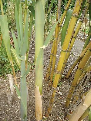 Arundo donax, giant cane