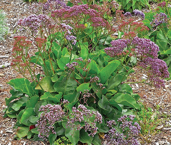 Sea lavender, limonium
