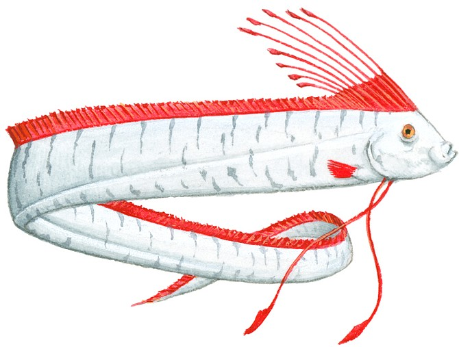 Illustration of Oarfish (Regalecus glesne), deep sea fish with long, silver body, red crest on top of head, and red dorsal fin - Image by Dan Wright