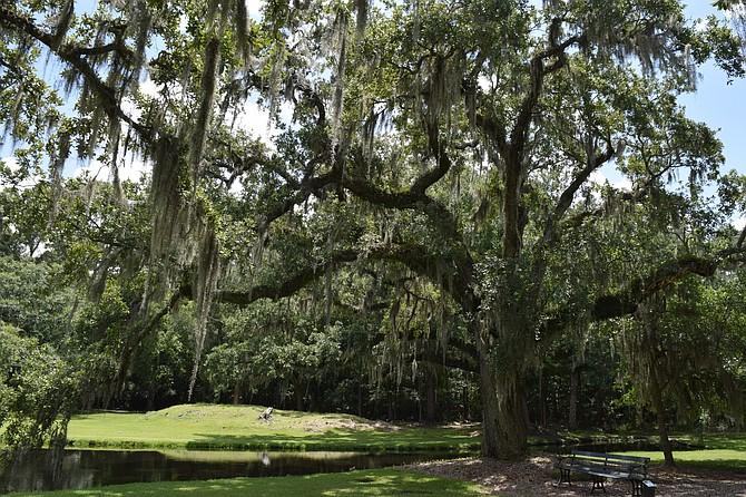 Oak tree draped with Spanish Moss outside of Charleston S.C.