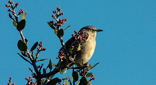 The wrentit's song is a bouncing ping pong ball.