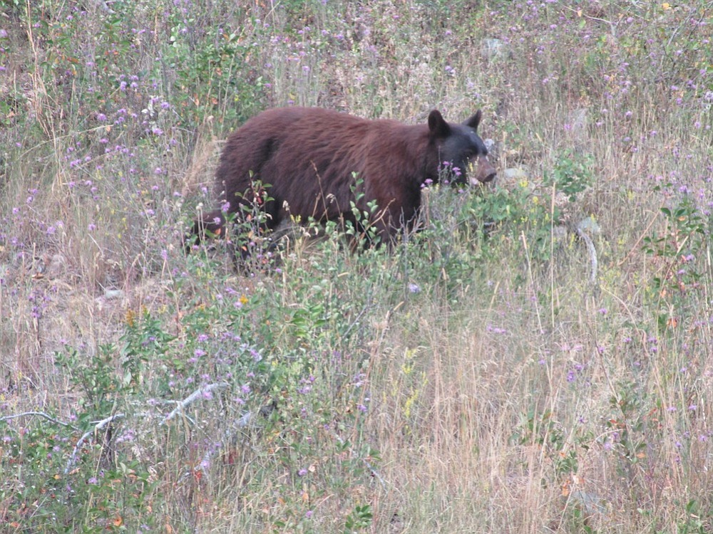 A Glacier grizzly sighting... finally.