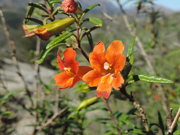 Monkey Flower in Monserate Mountain Preserve