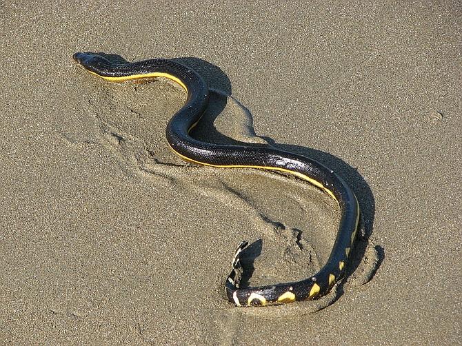 Yellow-bellied sea snake (Pelamis platurus)