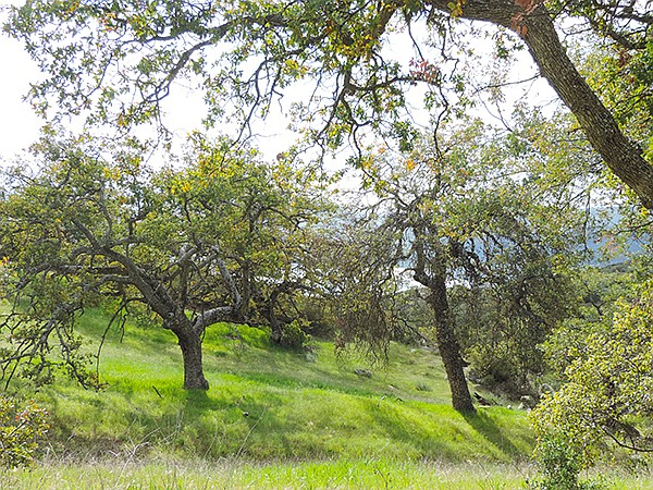 Engelmann oaks in the meadow