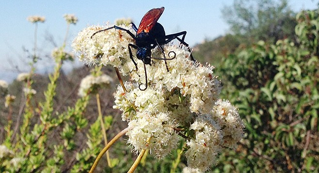 A female tarantula hawk rests on blooming buckwheat