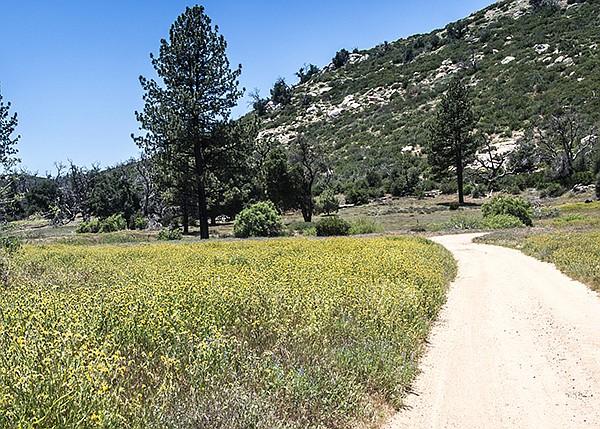 Field of Rancher's Fiddleneck (Amsinckia intermedia) along Upper Green Valley Fire Road.