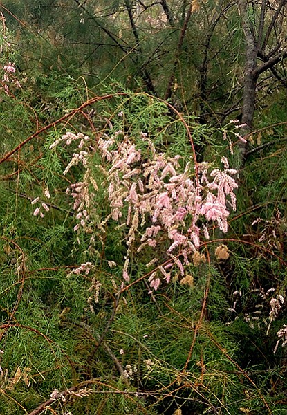 Tamarisk in the riparian areas
