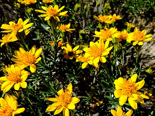 Photo goldenbushs bright yellow flowers dot the upper reaches of goldenbushs bright yellow flowers dot the upper reaches of the trail mightylinksfo