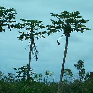 Papaya trees on the Big Island of Hawaii.