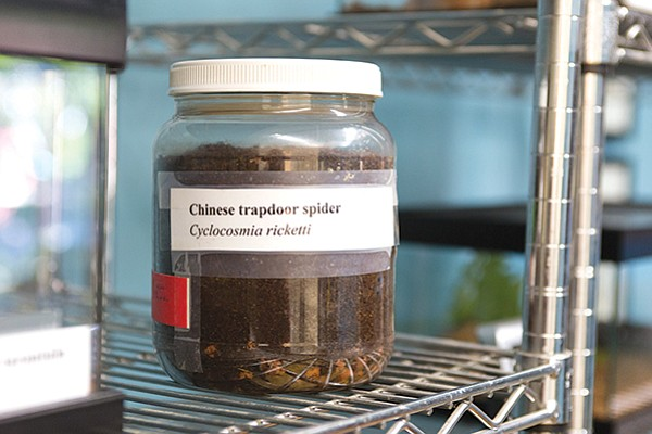 There is a Chinese Trapdoor Spider living in this dirt-filled jar
