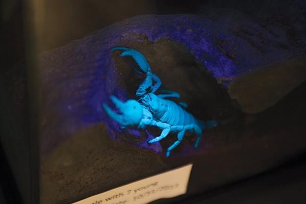 This scorpion glows under UV light
