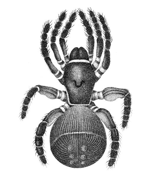 Chinese trapdoor spider