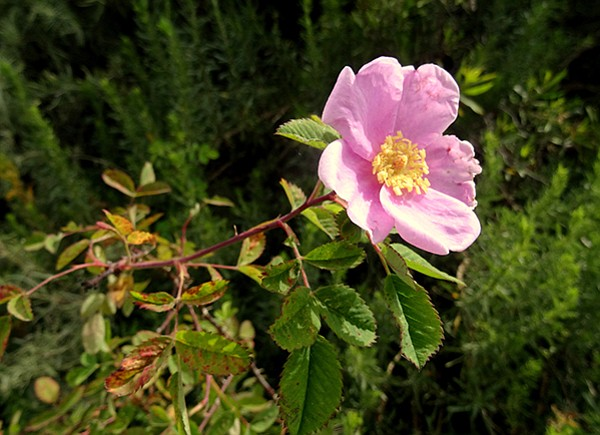 Look for blooming plants, such as the California rose.