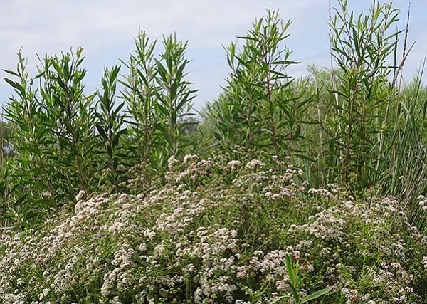 California buckwheat and mule-fat are common plants in the delta area.