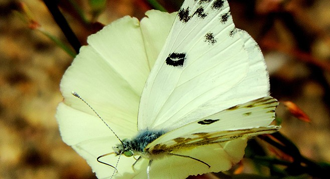 The checkered white is a common North American butterfly.