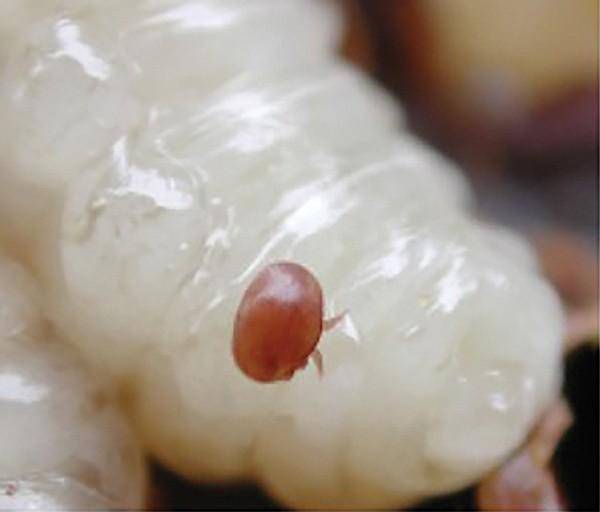 Varroa destructor on bee larva