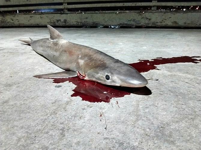 Shark on OB Pier