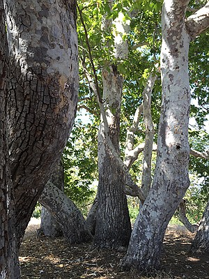 Sycamore trees = bird habitat