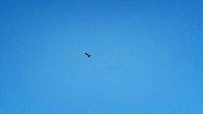 Bald Eagle soars high over Balboa Park.