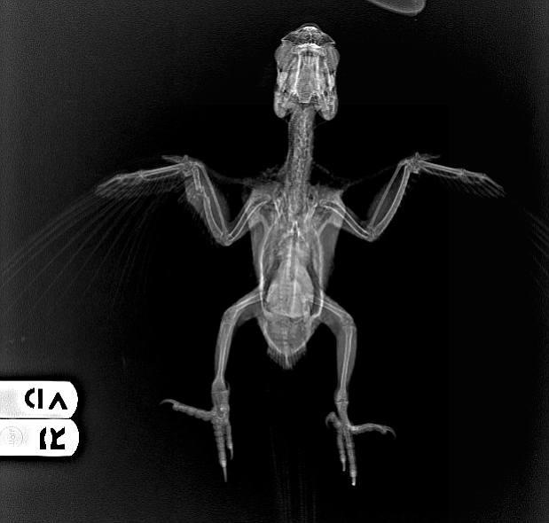X-ray of red-masked conure that was shot in Point Loma