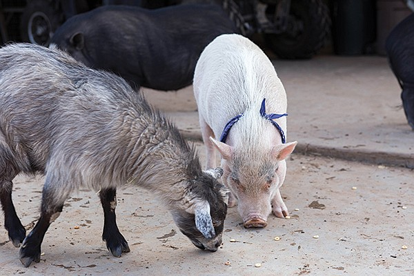 A goat and pig graze on cereal