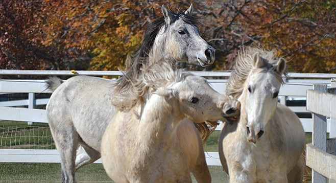 """""""When you talk about companion horses, some are companions for other horses,"""" says Gary Adler, who runs Pegasus Rising. - Image by Michelle Carroll"""