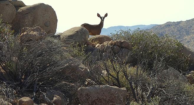 Mule deer seen on trail between Jasper Trail and Hellhole Canyon
