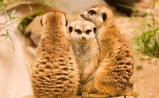 Three Meerkats keeping watch at the zoo.