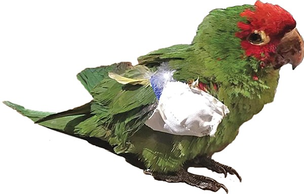 This endangered lilac-crowned Amazon, shot in Ocean Beach on February 19, died later that night after surgery.