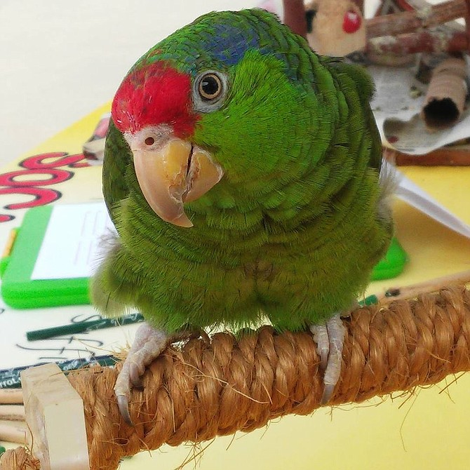 Cali, an endangered red-crowned Amazon, works the crowd at All Soul's