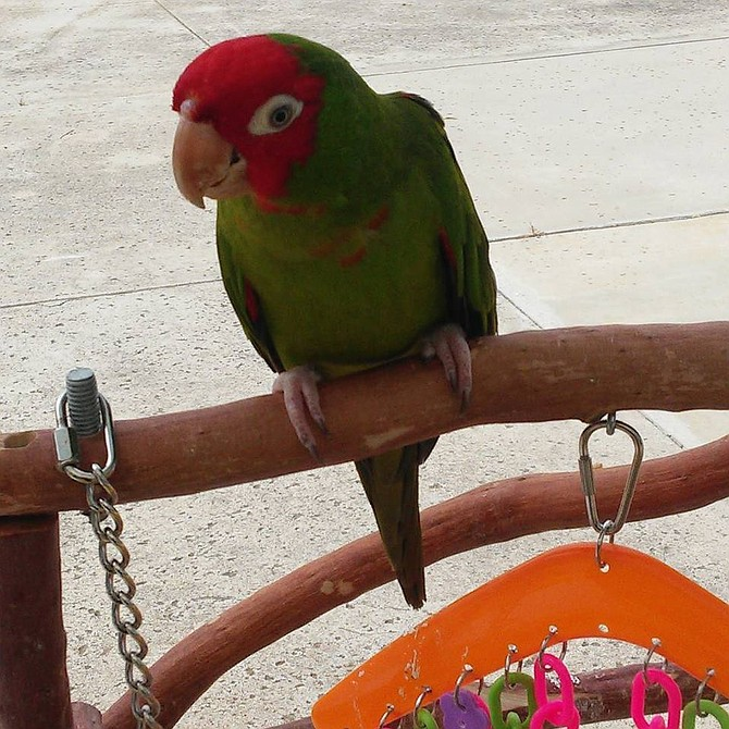 Nene is a red-masked conure like the type of parrot that keeps getting shot in Point Loma.