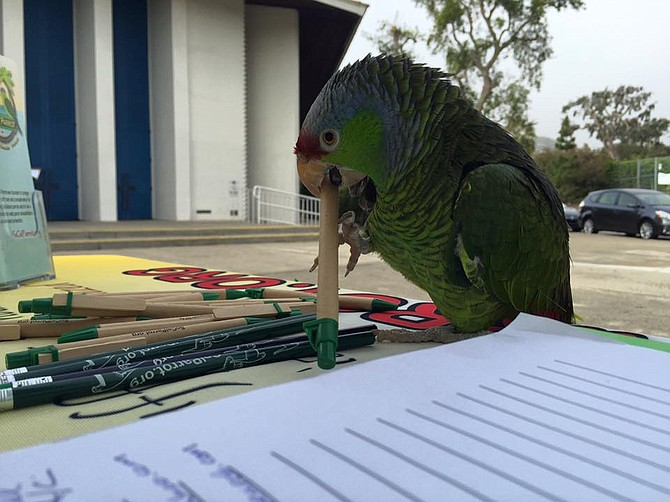 Hilo, an endangered lilac-crowned Amazon, gets church goers to sign up for SoCal Parrot's newsletter.