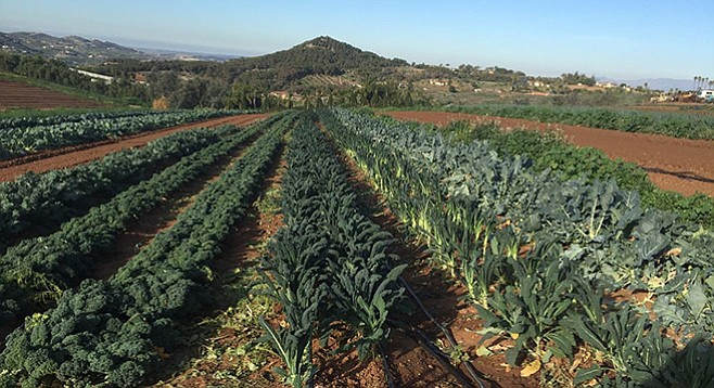 Red Russian, curly green, and Tuscano kale grow at Adam Maciel Organic Farm in Bonsall.