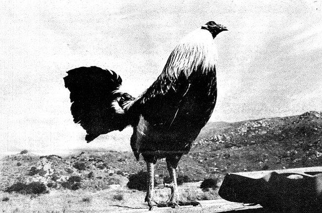 The sport survives around here — in Escondido, Solana Beach, Harbison Canyon, La Mesa, San Marcos, and Eden Gardens — but that kind of cockfighting is very secretive and done on a small scale - Image by Robert Burroughs